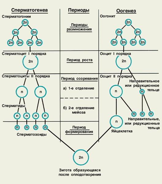 Схема гаметогенеза