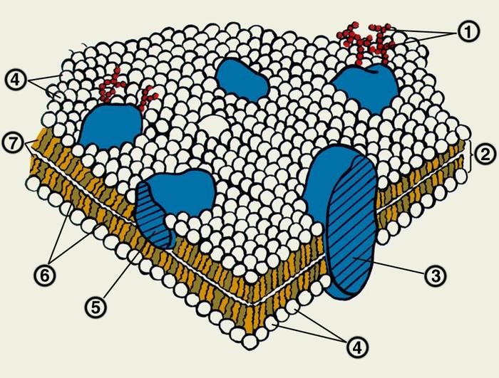 Схема строения биологической мембраны: 1 - углеводные фрагменты гликопротеидов; 2 - липидный бислой; 3...