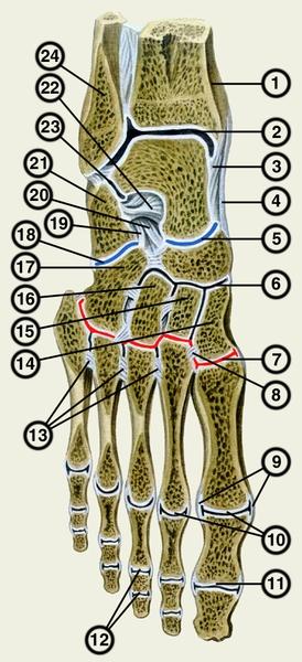 Суставы шопара и лисфранка суставы колена картинка