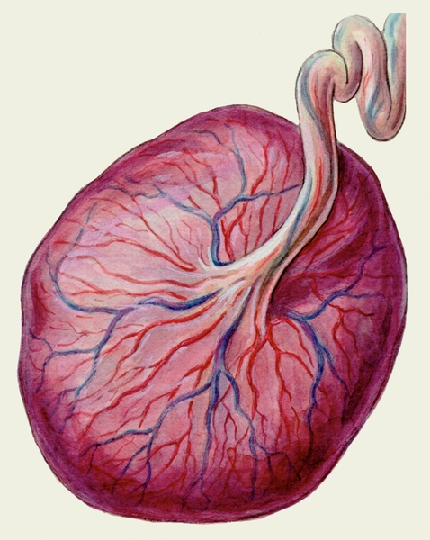 Зрелая плацента: плодовая