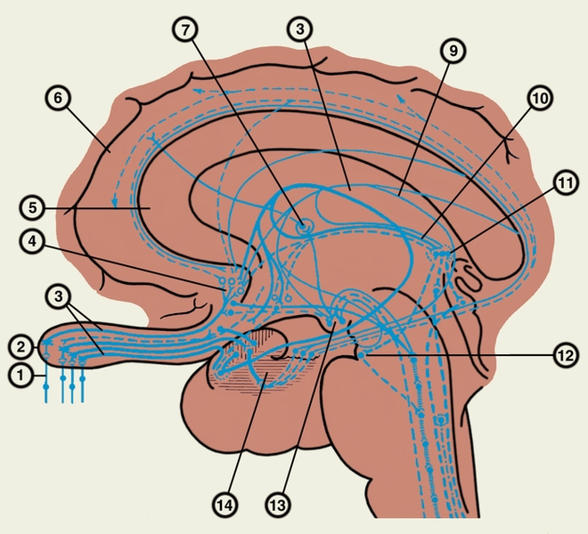 Мозг обонятельный
