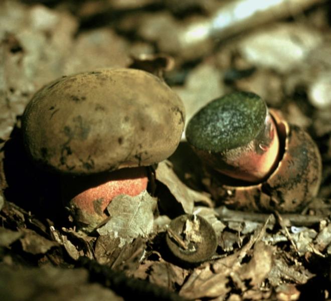 Съедобные грибы на урале в картинках