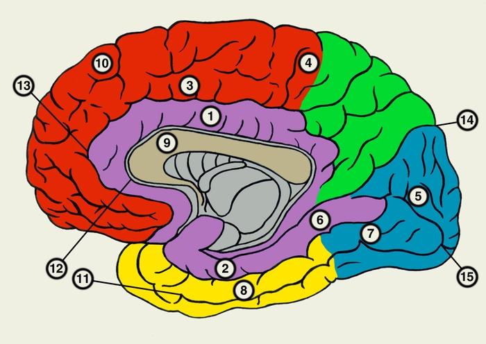Полушарие Большого Мозга