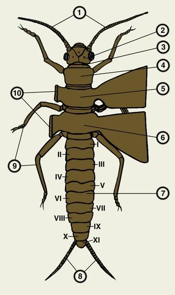 Схема строения насекомого: 1