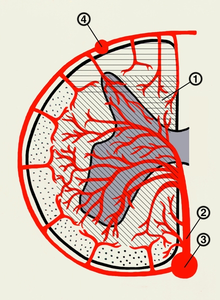 кровоснабжения сегмента