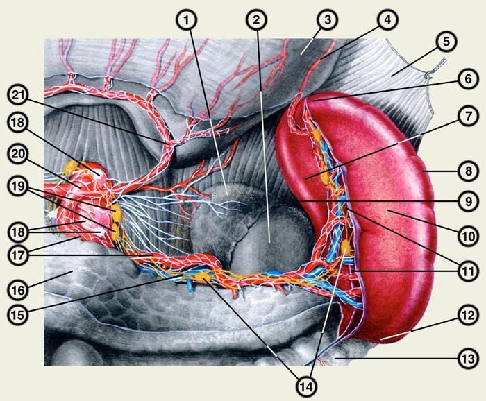 Топография селезенки ее сосуды и нервы вид