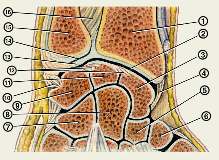 Суставы и связки левой кости (распил, параллельный тылу кисти): 1...