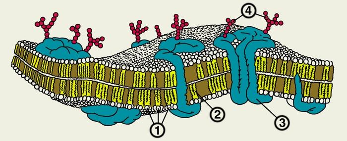 """Реферат по биологии На тему:  """"Строение эукариотической клетки """" ."""