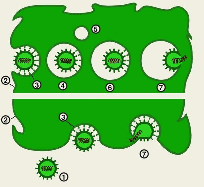 Схема проникновения вирусов в