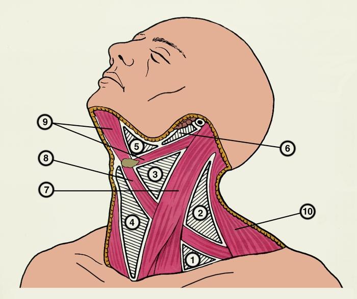 Плакат поверхностные мышцы шеи – Полимапия | 585x700