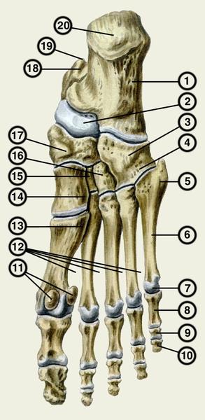 почему опухло на ноге где щиколотка возле сустава