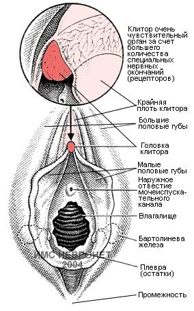 Головка клитора сверху и с боков покрыта кожистой складкой — крайней плотью (praeputium clitoridis), образованной латеральными ножками малых половых губ. Снизу под клитором расположена его уздечка (frenulum clitoridis), образованная медиальными ножками. Снаружи клитор покрыт нежной кожицей, являющейся продолжением покрова малых половых губ и богатой сальными железами, секрет которых (smegma) обычно скапливается вокруг клитора и в бороздке между большими и малыми половыми губами.