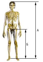 Рис. Трохантерный индекс отражает отношение роста мужчины (а) к высоте его ноги (б).