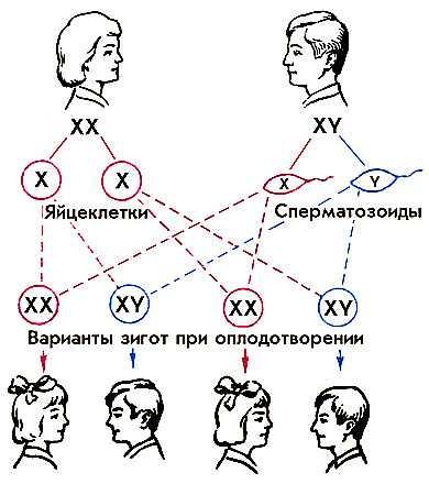 Хромосомы определяют пол