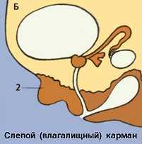 Рис. Схематическое изображение наружных мужских половых органов при нормальном развитии (А) и при псевдогермафродитизме (Б). 1 - дигидротестостерон-зависимые участки при нормальном развитии; 2 - дигидротестостерон-зависимые участки, в которых влияние дигидротестостерона не происходило.