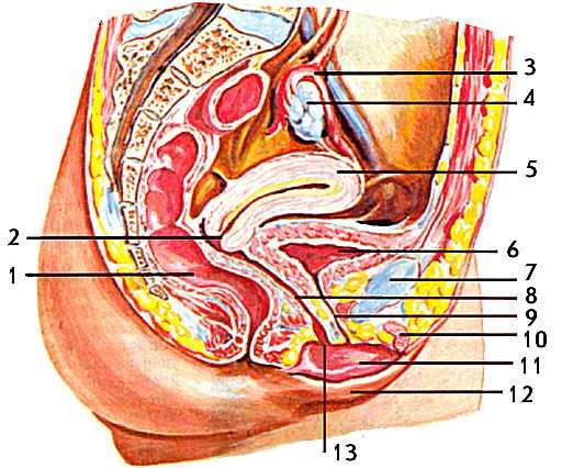 К наружным половым органам относятся лобок, большие и малые половые губы, клитор, преддверие влагалища...