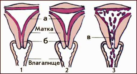 Нейрогуморальная регуляция менструального цикла происходит с участием коры головного мозга, гипоталамуса, гипофиза, яичников, а также матки, влагалища, молочных желез.