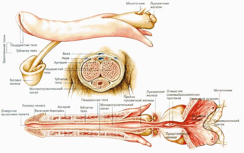 Различают корень (основание), тело (ствол) и головку полового члена. Ствол образован двумя пещеристыми и губчатыми телами, содержащими большое количество лакун (углублений), которые легко заполняются кровью. Пещеристые тела располагаются по краям, губчатое - снизу, в бороздке между ними, вместе с проходящим в его толще мочеиспускательным каналом (уретрой).