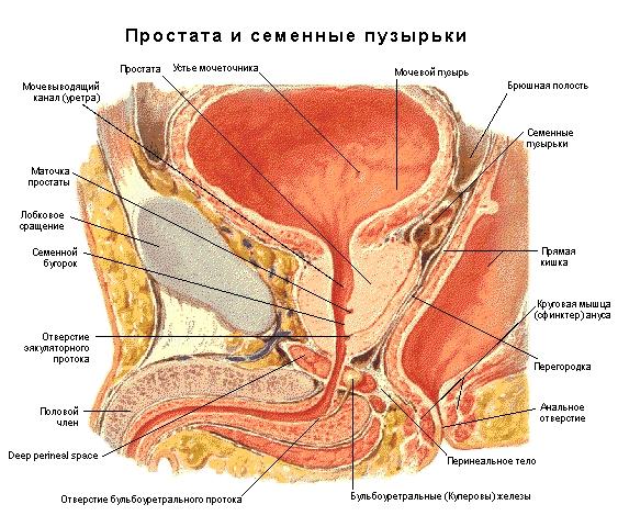 Величина простаты зависит от возраста, и полного развития железа достигает к 17 годам. У взрослого мужчины она может достигать: длины 2,5-3,5 см, ширины 2,5--4,0 см, толщины 1,7-2 см, массы 16-18 г (по сравнению с железой новорождённого к 30 годам масса её увеличивается в 20 раз). Снаружи простата покрыта капсулой из плотной соединительной ткани. Железистая ткань состоит из 30-50 желёзок (чаще тонкие ветвящиеся трубочки), открывающихся в предстательную часть мочеиспускательного канала вокруг семенного бугорка 20-30 выводными протоками. Выведению секрета из простатических желёзок способствует сокращение гладких мышц железы. Массивное выделение секрета наблюдается во время эякуляции.