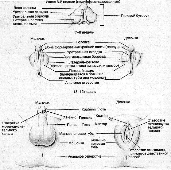 Рис. Эмбриогинез. Развитие наружных мужских и женских половых органов.