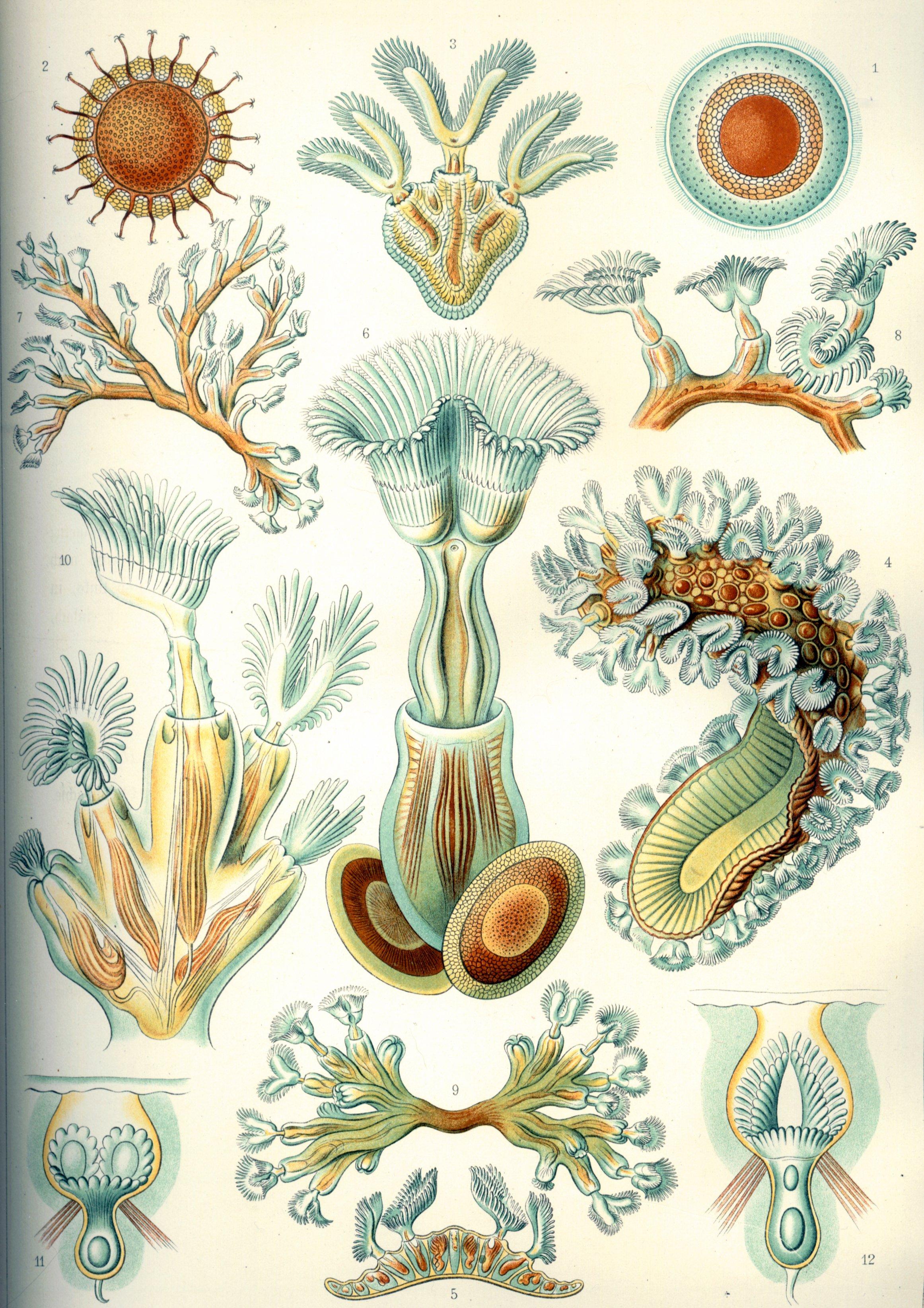 Bryozoaires