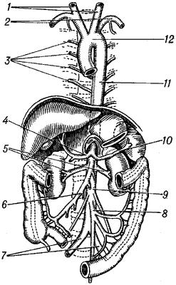 Аорта человека с отходящими от неё сосудами.