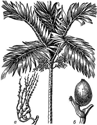 Пальма катеху.