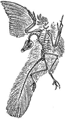 Скелет археоптерикса.