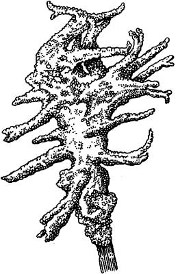 Бадяга (общий вид).