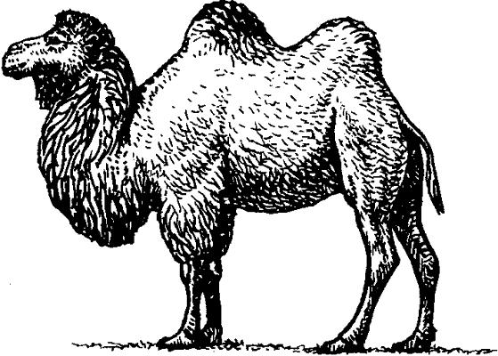 Двугорбый верблюд (бактриан).