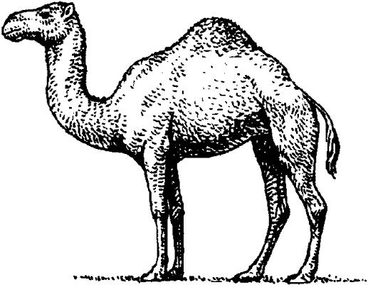 Одногорбый верблюд (дромедар).