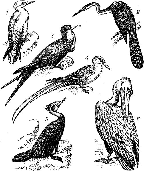 Веслоногие птицы.