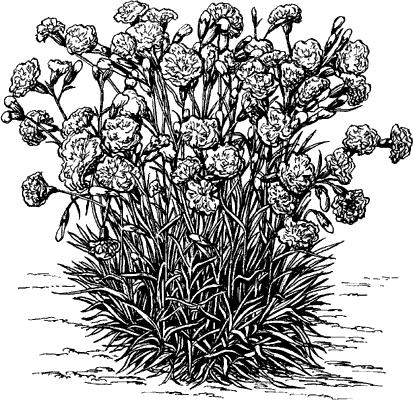 Гвоздика садовая.