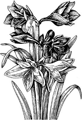 Гиппеаструм садовый.