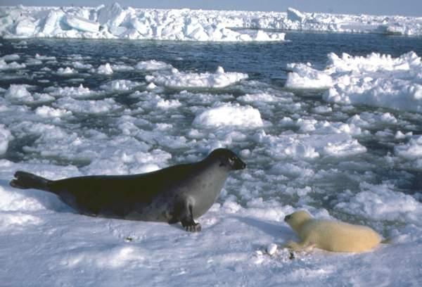 Гренландские тюлени.