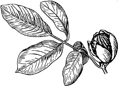 Грецкий орех: ветвь с плодом.