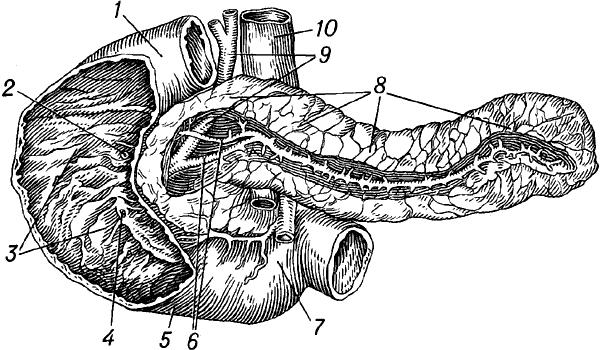 Двенадцатиперстная кишка и поджелудочная железа человека.
