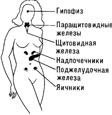 Схема расположения основных эндокринных желёз в организме женщины.