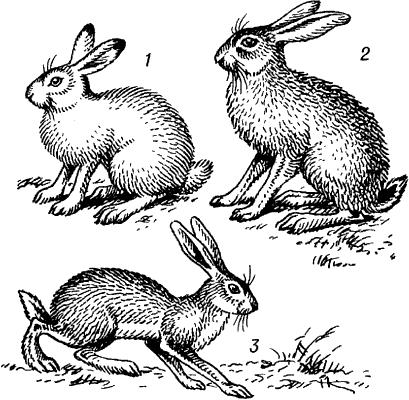 Зайцы.