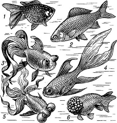 Золотая рыбка (аквариумные формы).