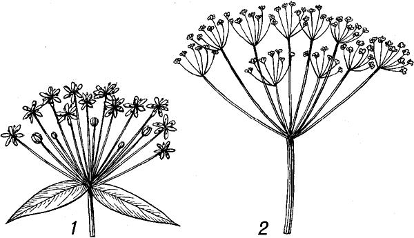 соцветие с укороченной гл. осью и цветками, располагающимися на удлинённых цветоножках почти в одной плоскости.