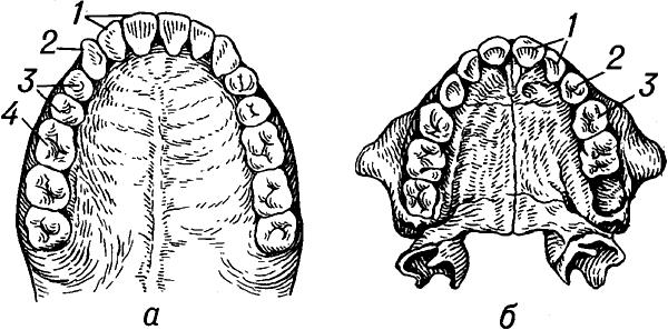Зубы человека (верхняя челюсть).