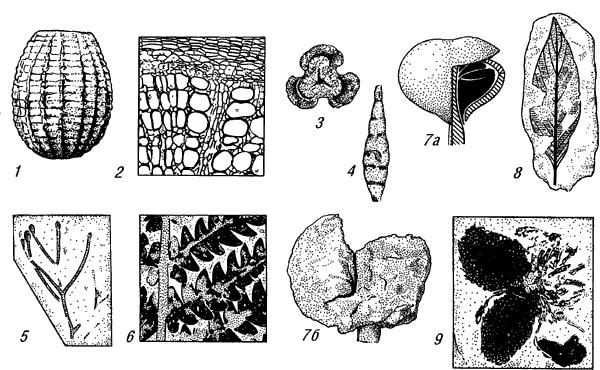 Остатки ископаемых растений.