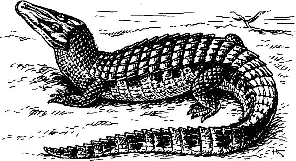 Крокодиловый кайман.