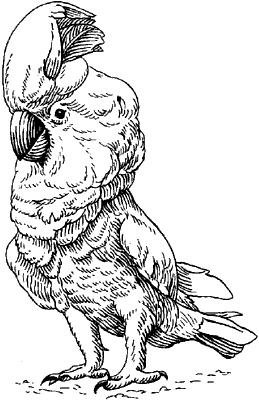 Молуккский какаду.