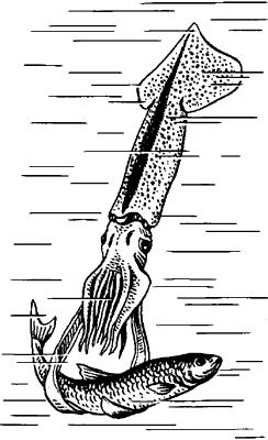 Кальмар, нападающий на рыбу.