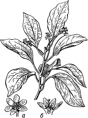 Камфорное дерево.