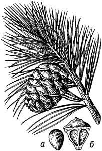 Кедровая сосна сибирская.