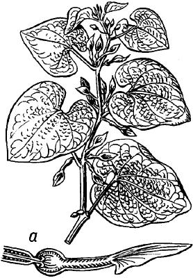 Кирказон ломоносовидный.