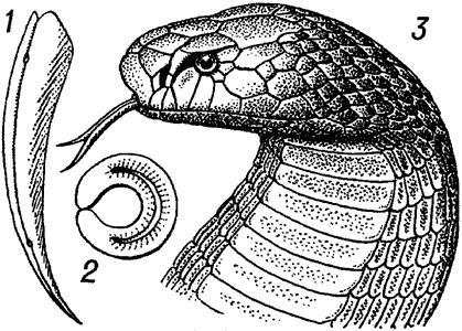 Очковая змея.